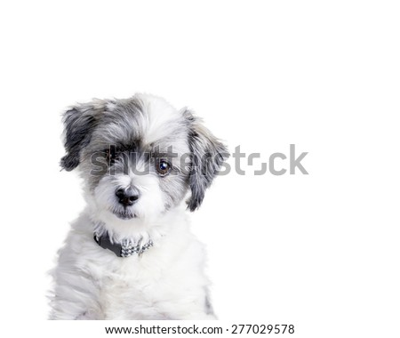 Isolated adorable white furry dog with head tilted and a confused look focused on something and thinking about it.  Plenty of copy space.