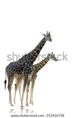 isolated african giraffe in white background on a shinny surface - stock photo