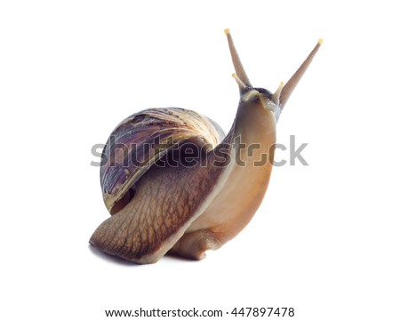 Isolated african snail Achatina fulica on a white background