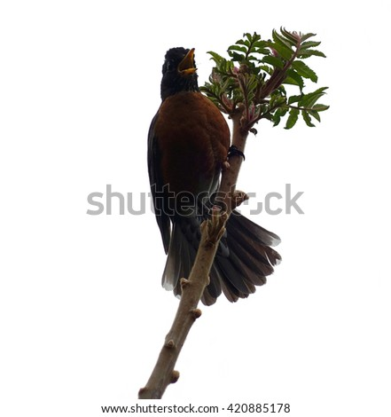 Isolated American Robin Bird On Branch - Isolated robin bird on branch. State bird of Connecticut, Michigan and Wisconsin on a white background. - stock photo