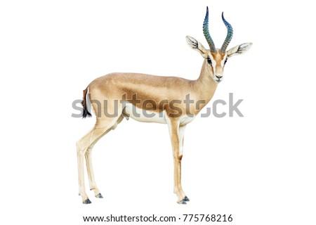 stock-photo-isolated-antelope-on-white-b