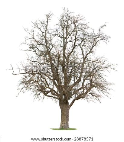 Isolated Apple Tree in between the season of winter and spring - stock photo