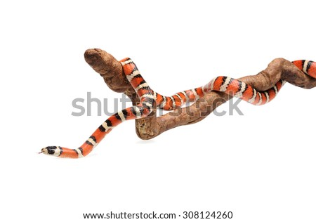 Isolated Arizona mountain king snake on branch - stock photo