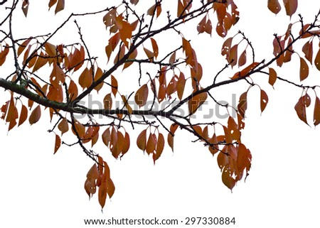 Isolated Autumn Leaves on White as Design Element - stock photo