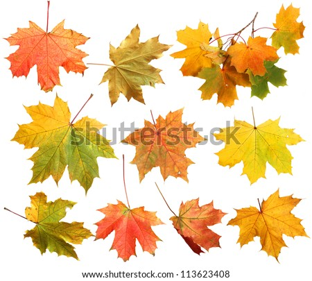 Isolated autumn maple leaves - stock photo