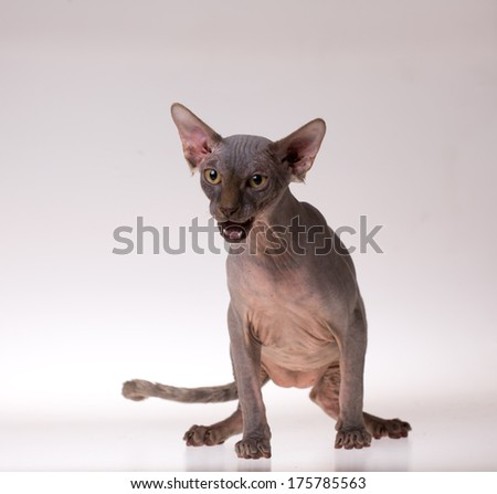 isolated bald cat on white