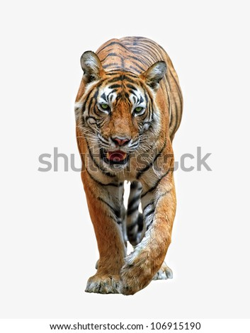 Isolated bengal tiger with clipping path - stock photo