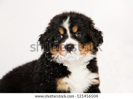 Isolated bernese mountain dog puppet is halfly snowy - stock photo