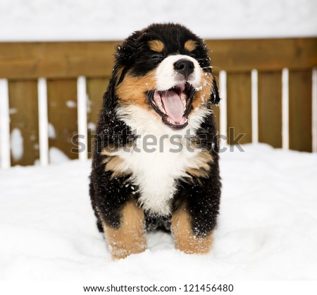 Isolated bernese mountain dog puppet is yawing widely - stock photo