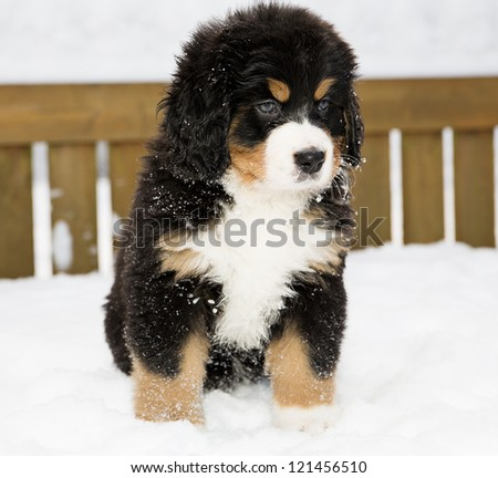 Isolated bernese mountain dog puppet patience is down - stock photo