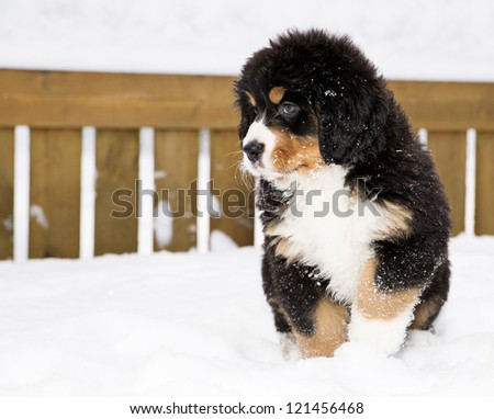 Isolated bernese mountain dog puppet waiting his chance - stock photo
