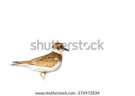 isolated bird Plover Little Ringed Plover / Charadrius dubius - stock photo