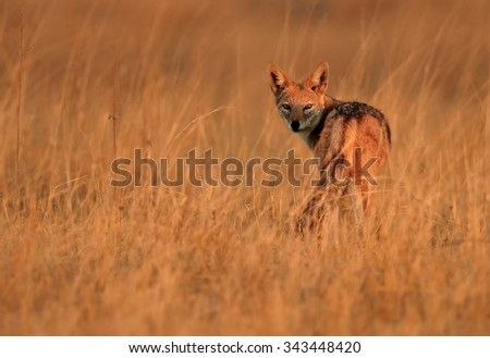 Isolated Black-backed Jackal, Canis mesomelas, in motion in the dry grass of savanna lit by early morning sun, staring directly at camera. Orange colours and blurred background. - stock photo