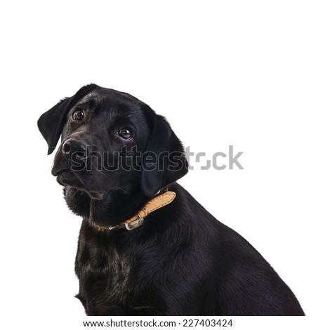 Isolated black labrador retriever - stock photo
