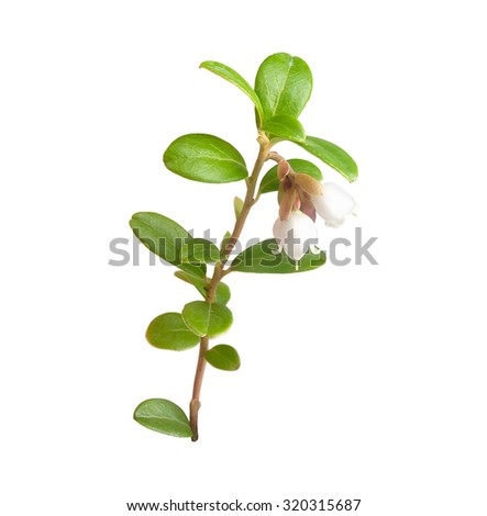 Isolated blooming branch of cowberry on the white
