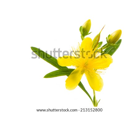 Isolated blossom of a hypericum flower - stock photo