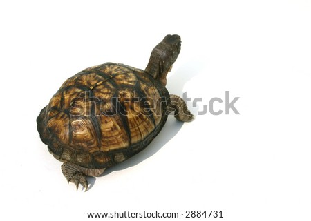 Isolated Box Turtle
