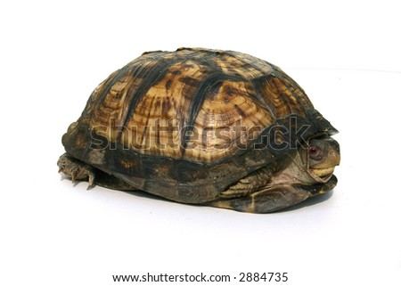 Isolated Box turtle hiding in shell