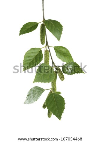 Isolated branch of birch on the white background