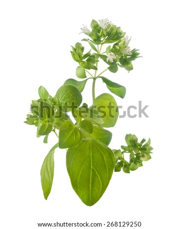 Isolated branch of common origanum with flowers and leaves