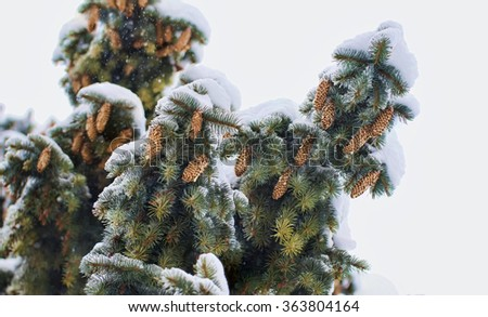 isolated branches of a Christmas tree covered with snow and cones natural spruce winter background - stock photo