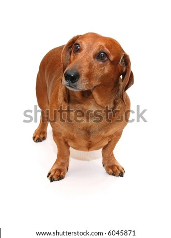 isolated brown dachshund on the white background - stock photo