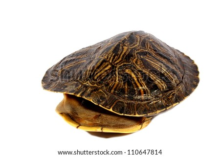 Isolated brown red ear slider hollowed out turtle shell.