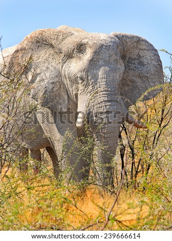 Isolated Bull Elephant in the Bush in Etosha covered with dried mud - stock photo