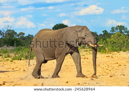 Isolated bull elephant walking across the plains in Hwange National Park - stock photo
