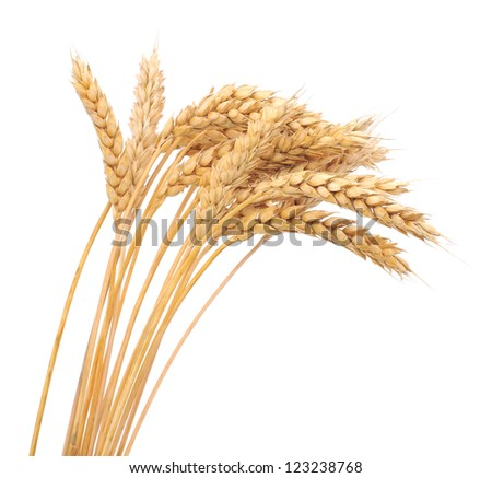 Isolated bunch of golden wheat ear after the harvest. - stock photo