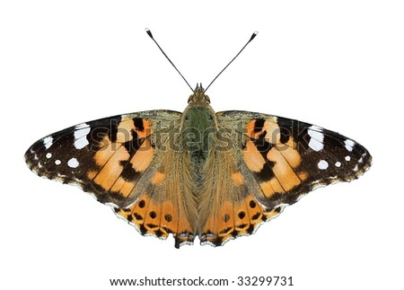 "isolated butterfly - ""painted lady"""