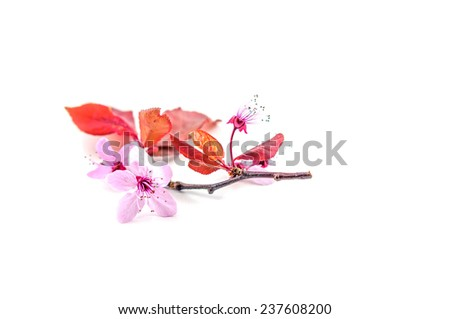 Isolated cherry flower