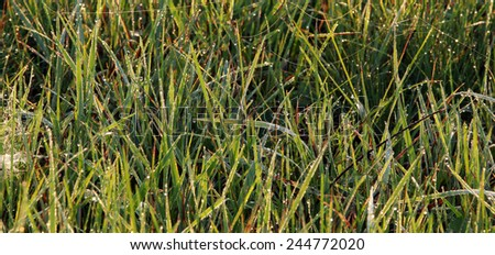 isolated close-up cobweb on the dry grass misty autumn morning - stock photo