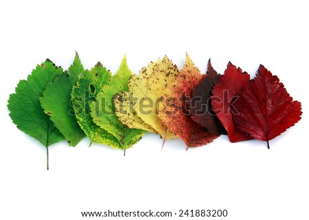 isolated close-up colorful autumn leaves folded in a row on a white background - stock photo