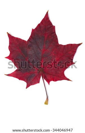 isolated close-up of colorful autumn leaves on white background studio