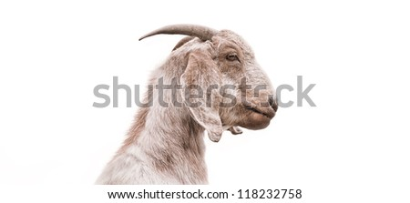 Isolated close-up profile of a goat. - stock photo
