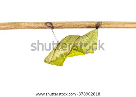 Isolated cocoon of common birdwing butterfly on white with clipping path - stock photo