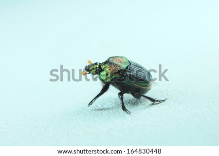Isolated Colorful Dung Beetle - stock photo