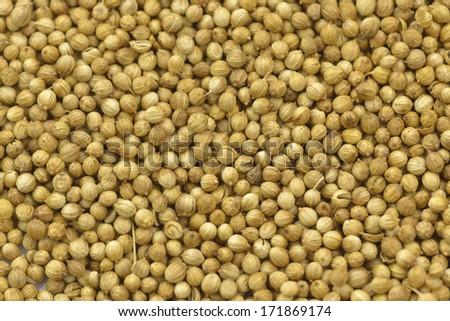 isolated coriander seeds  - stock photo