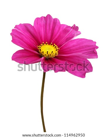 Isolated Cosmos Flower - stock photo