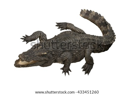 Isolated crocodile - Image of wild crocodile isolated in white background. Crocodile or true crocodile are reptiles that live throughout the tropics in Africa, Asia, the Americas and Australia. - stock photo