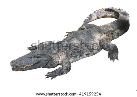 isolated crocodile on white background - stock photo