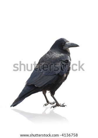 Isolated Crow on white background