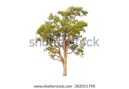 isolated deciduous tree on a white backgrounds