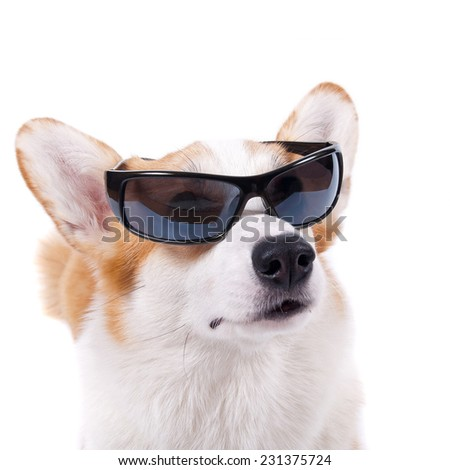 isolated dog in sunglasses on white background