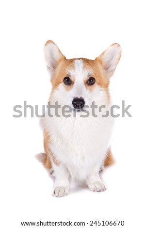 isolated dog sitting on white background