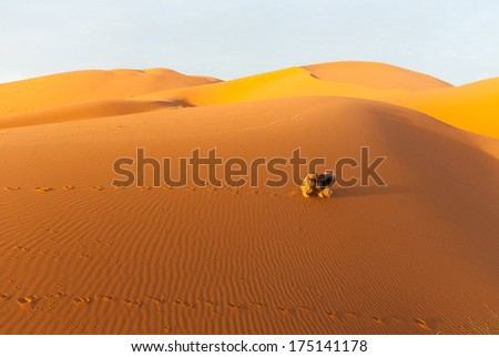isolated dog trotting across the dunes in Sahara desert, Morocco - stock photo