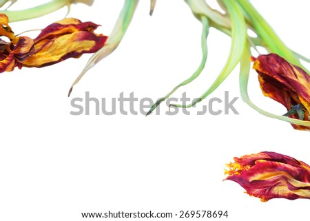 Isolated dried flowers tulips