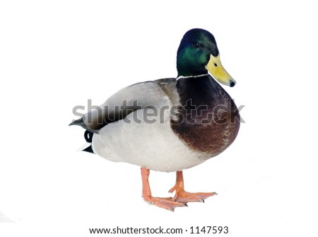 Isolated Duck - stock photo