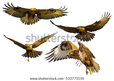 Falcon Flying Stock Images Royalty Free Images Amp Vectors